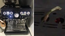 Queensland family's coffee machine becomes unlikely home for 'adorable' visitor