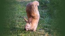 Un único gen hace que los conejos hagan el pino en lugar de saltar