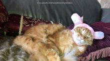 Patient cat not Impressed with rabbit hat costume