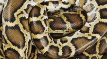 Are You Extreme Enough to Get a Snake Massage for Relaxation?