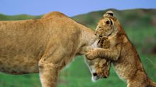 Lioness 'on the loose' in French countryside