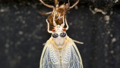 After 17 years underground, cicadas return