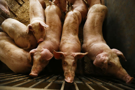 Pigs are seen in a piggery at a village near Warsaw