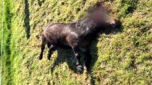 Vrai ou Fake ? Les attaques contre les chevaux sont-elles toutes d'origine humaine?