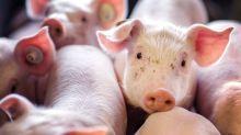 Schweinebauer: Dicke Probleme