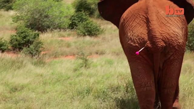 Graphic Footage: Elephant Rescued After Poison Dart Attack