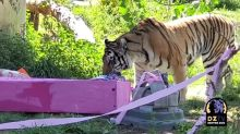 Denver Zoo's Tiger Celebrates 10th Birthday in 'Purrfect' Fashion