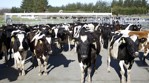 500 cows rustled from New Zealand farm in unusual case