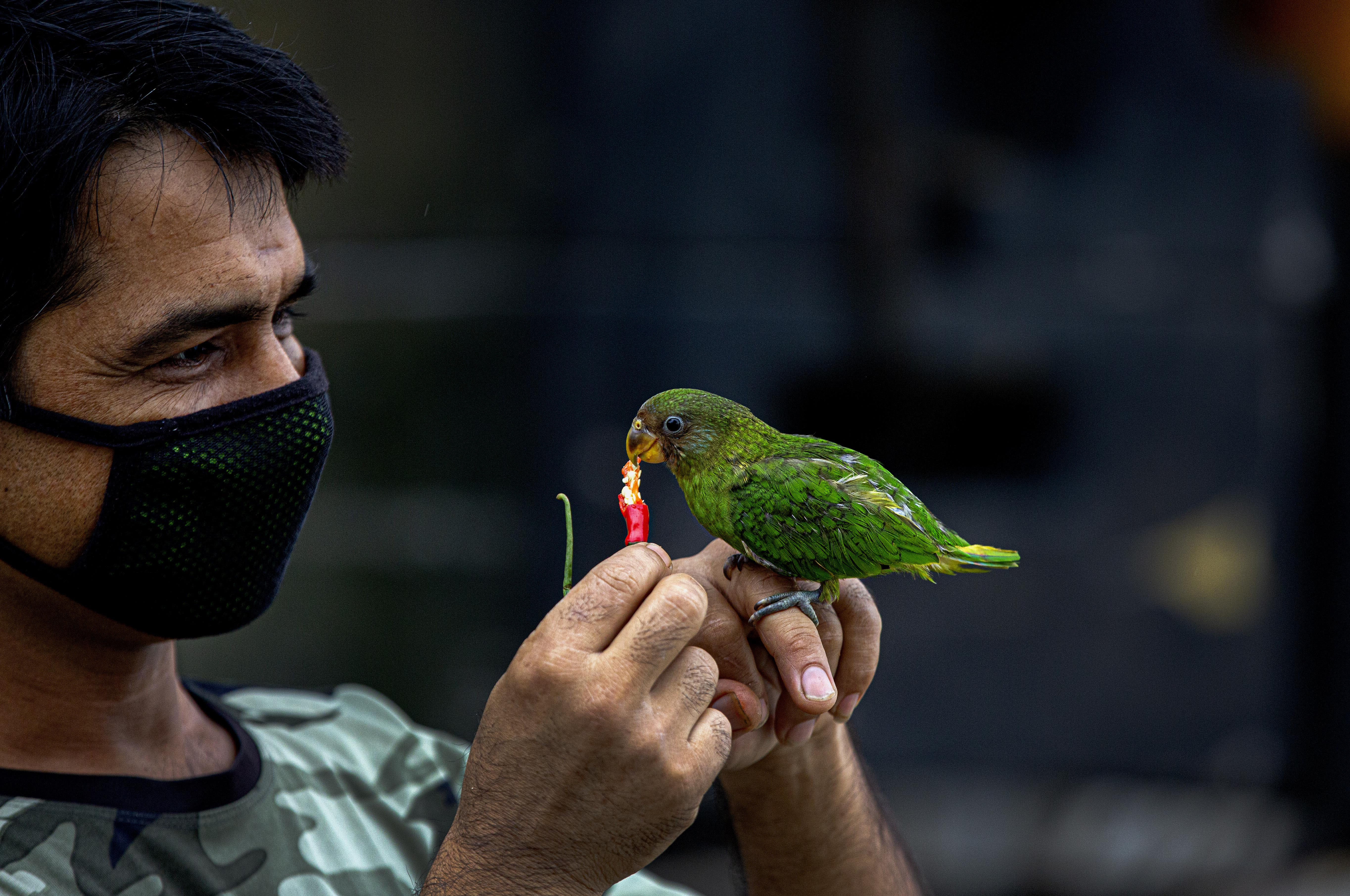 An Indian man wearing a face mask feeds chilly to a baby parrot during fresh lockdown imposed in Gauhati, Assam state, India, Sunday, July 12, 2020. India is the world's third worst-affected country by the coronavirus. (AP Photo/Anupam Nath)
