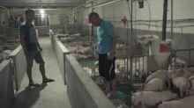 Peste porcina en China dispara precios e importaciones