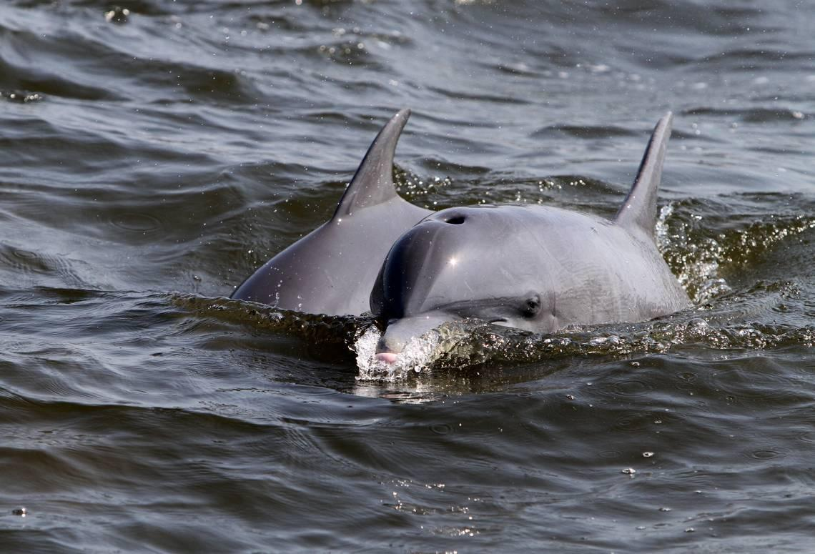 SC dolphin video leads biologist to speak up about dangers of 'begging dolphins'