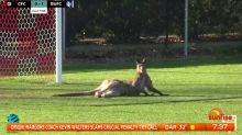 Kangaroo invades pitch during Canberra women's football match