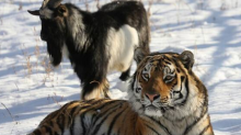 'Brave' Goat Who Had Befriended Tiger it Was 'Meal' For, Passes Away