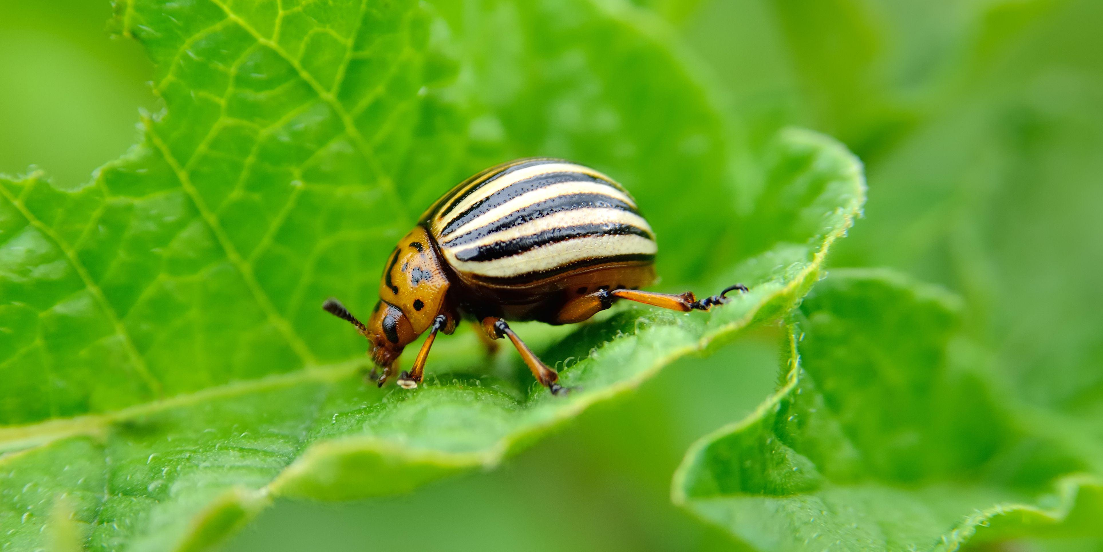 Stop Pests In your home Vegetable Garden With Pure Pesticides