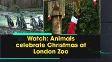 Watch: Animals celebrate Christmas at London Zoo