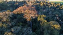 Un yvyra pytá de 46 metros se proclama el árbol más grande de Paraguay