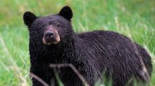 Bear breaks into car and rolls it into a postbox