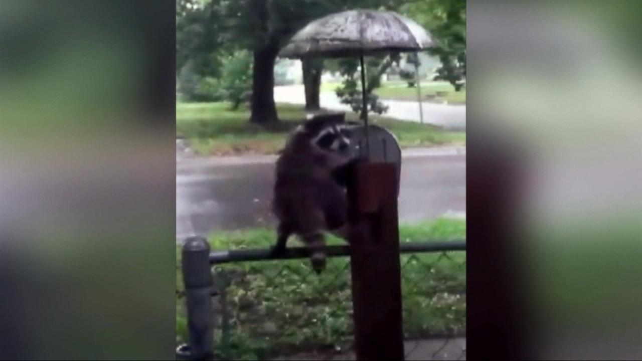 Good Morning America Umbrella : Raccoon uses umbrella to stay out of rain