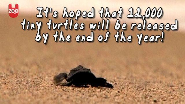 Thousands Of Baby Turtles Return To Wild