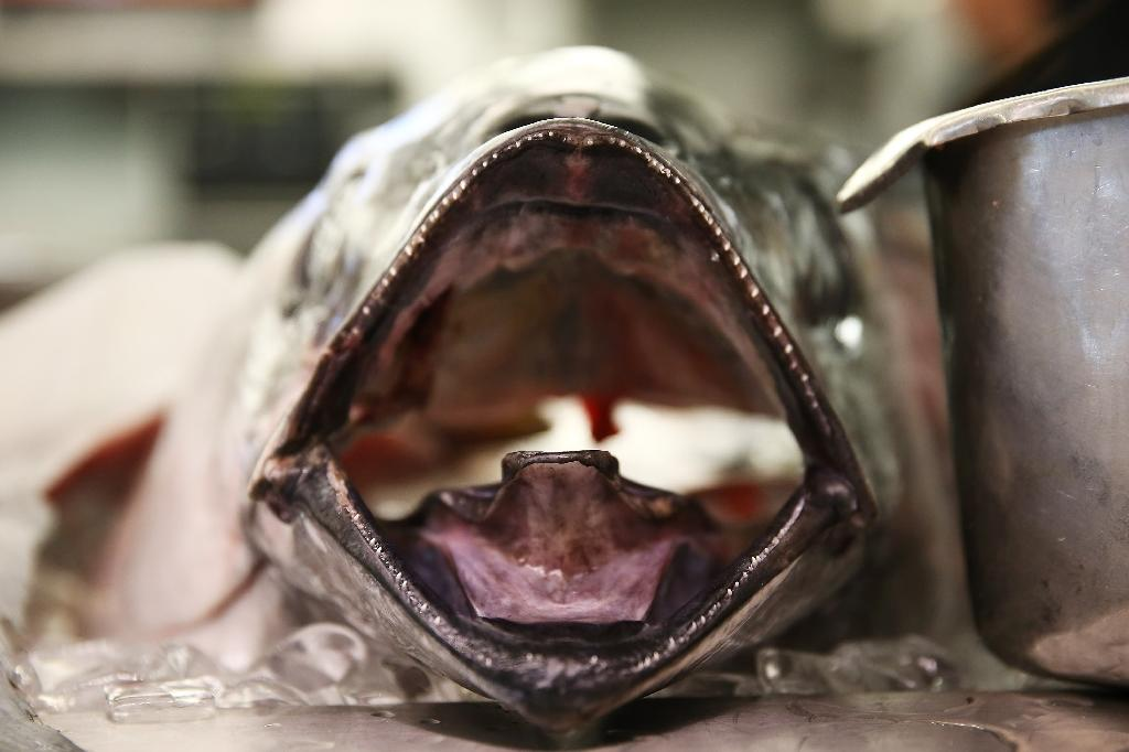 Scientists warn that stocks of bigeye tuna -- a fatty and fast-swimming predator -- could crash within a decade or two (AFP Photo/Neilson Barnard)