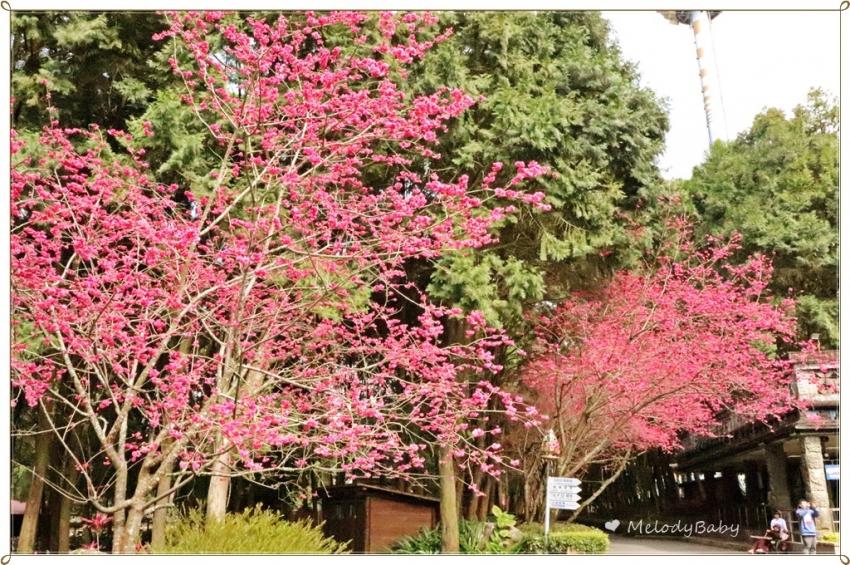 九族櫻花祭 (4).JPG