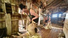 Na Austrália, tosquiar ovelhas não é mais tarefa apenas para homens