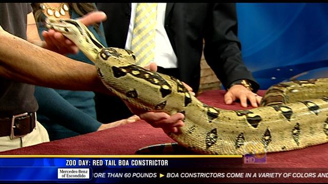 Zoo Day: Red tail boa constrictor