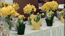 Daffodils help raise money for American Cancer Society