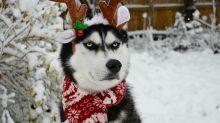 Conheça o cão que odeia MUITO o Natal!