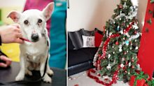 Vets warning after dog nearly dies from eating four Christmas tree chocolates