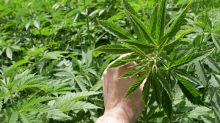 This Is the Largest U.S.-Based Pot Stock Listing in Canada's History