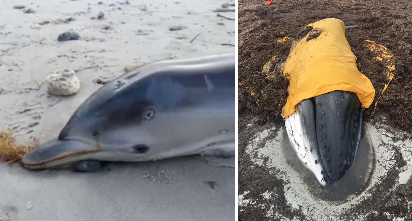 Baby dolphin washes up with mystery 'bullet holes' in its head
