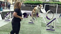 Canine athletes show off obstacle course skills