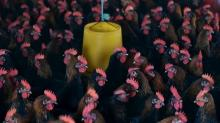 China loses most of WTO poultry challenge, scores small win over EU
