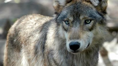 House drops legal protections for gray wolves