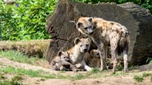 Packs of hyenas hunted Neantherthal man as prey and devoured their corpses in caves, a new find has revealed
