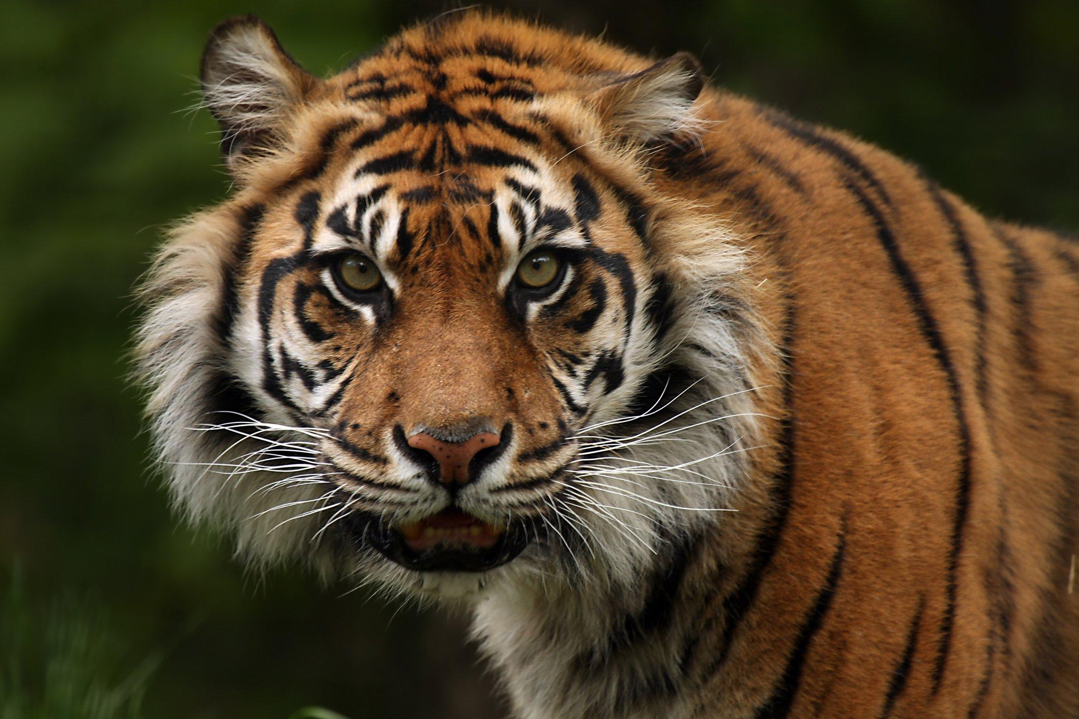 Tiger Attacks Keeper in Topeka, Kansas Zoo