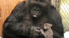 知名猩猩「可可」睡夢中離世,5點帶你認識全球最聰明的大猩猩