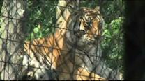 Tiger in exotic cat refuge attacks cleaning lady in Indiana
