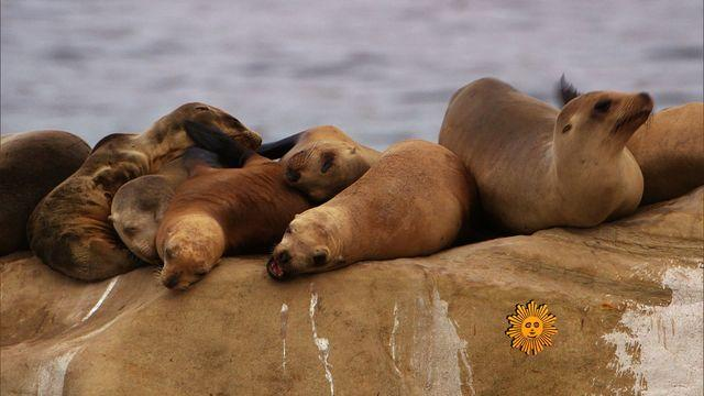 Nature: La Jolla's sea lions