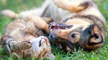 Donos estão usando maconha com fins medicinais para tratar seus animais de estimação