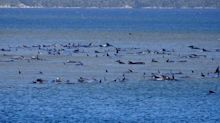 'A sad sight': More than 200 whales stranded on sandbar off Tasmanian beach