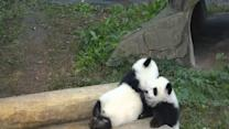 Giant Panda Twins Make Debut in Southwest China