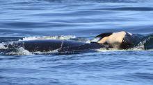 Desgarrador: la orca que empuja a su cría muerta hace más de dos semanas podría estar en peligro