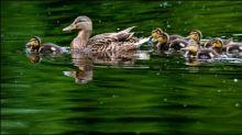 Feuerwehr Dortmund rettet Küken und führt Entenfamilie wieder zusammen