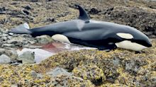 A killer whale stranded on rocks in Alaska was saved after a group of people spotted it and kept it wet until the tide rose