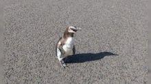 """Coronavirus: un pingüino """"rompió la cuarentena"""" y paseó por Miramar"""