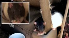 Woman living in van forced to flee as it's overrun by 320 'pet' rats