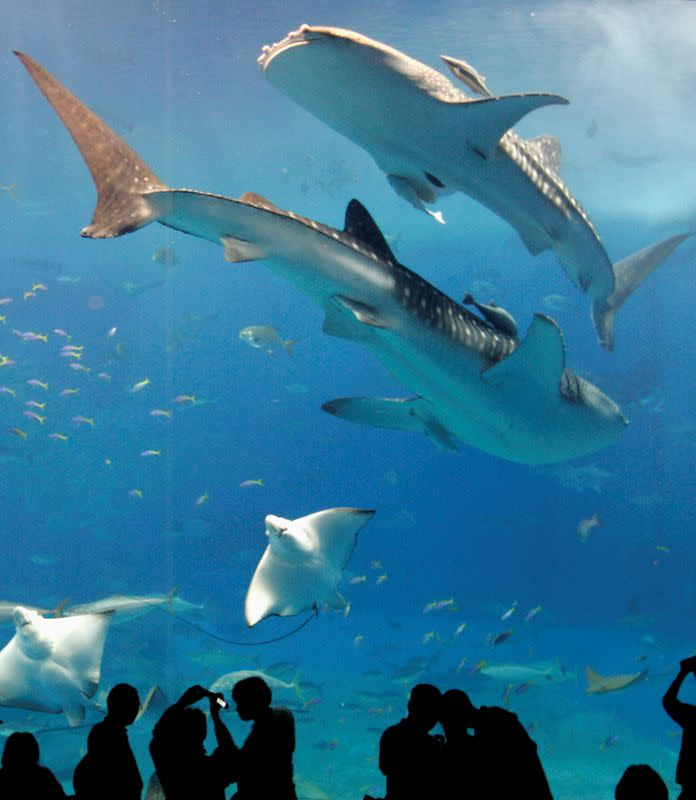 FILE PHOTO: Whale sharks swim with other fish as visitors look on in a fish tank with the world's largest glass acrylic window at the Okinawa Churaumi Aquarium in Motobu town