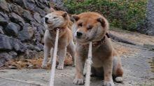 日本「拒否犬」升級版 兩隻聯盟唔肯返屋企